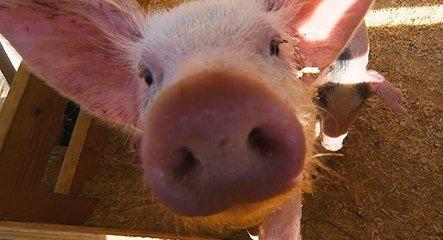 Les porcs grognent, la caravane passe